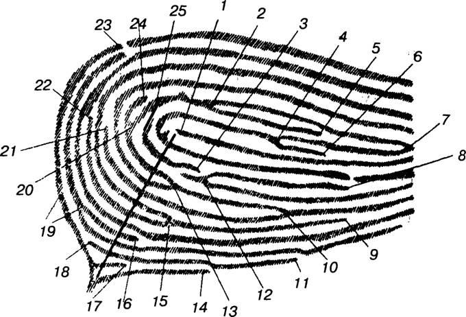 Схема для подсчета гребешков на пальце. венное значение гребешков одного пальца составляет примерно 15-20 гребешков.