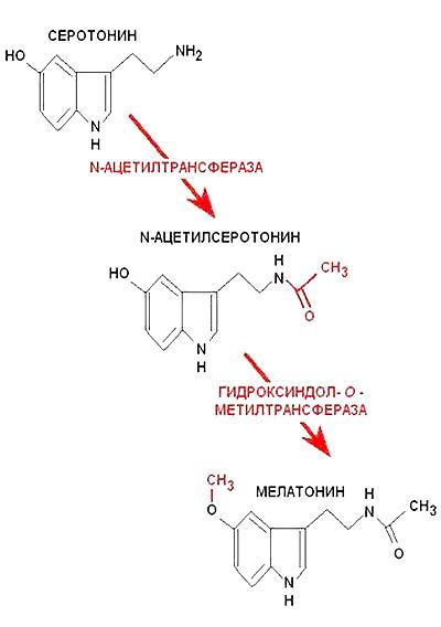 Мелатонин и молодость