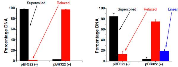 Рис. 3. Конфигурации плазмидной ДНК pBR322 до облучения (−) и после облучения (+)