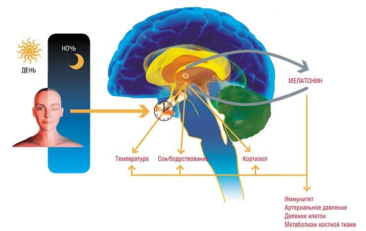 Физиологический контроль эндокринной функции эпифиза у человека и животных в значительной мере осуществляется световым режимом. Световая информация, воспринимаемая через глаза, передается вэпифиз по нейронам супрахиазматического ядра (СХЯ) гипоталамуса. В темное время суток сигналы отСХЯ вызывают увеличение синтеза и высвобождение норадреналина из симпатических окончаний. Этот нейромедиатор возбуждает рецепторы, расположенные на мембране пинеалоцитов (клеток эпифиза), стимулируя синтез мелатонина. Этот нейрогормон, в свою очередь, оказывает значительное влияние намногие физиологические функции организма