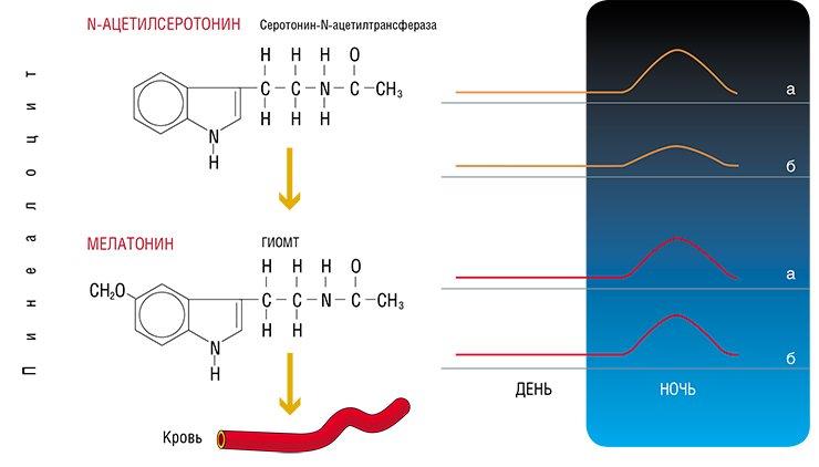 Биосинтез и суточный ритм мелатонина в пинеалоцитах (клетках эпифиза) (а) и в крови (б). Свет угнетает продукцию и секрецию мелатонина, поэтому его максимальный уровень в эпифизе и крови наблюдается в ночные часы, а минимальный - в утренние и дневные