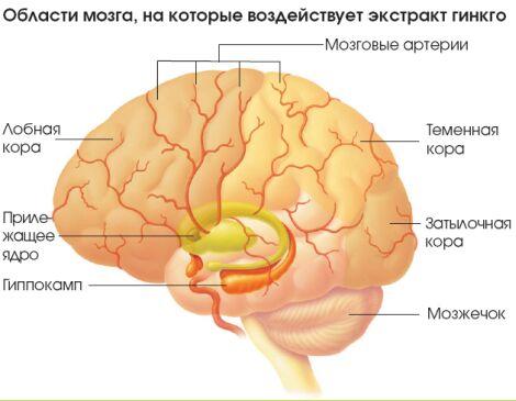 Общая схема строения мозга Обозначены не все зоны коры.